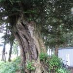 愛宕神社境内「椎」日立市指定天然記念物